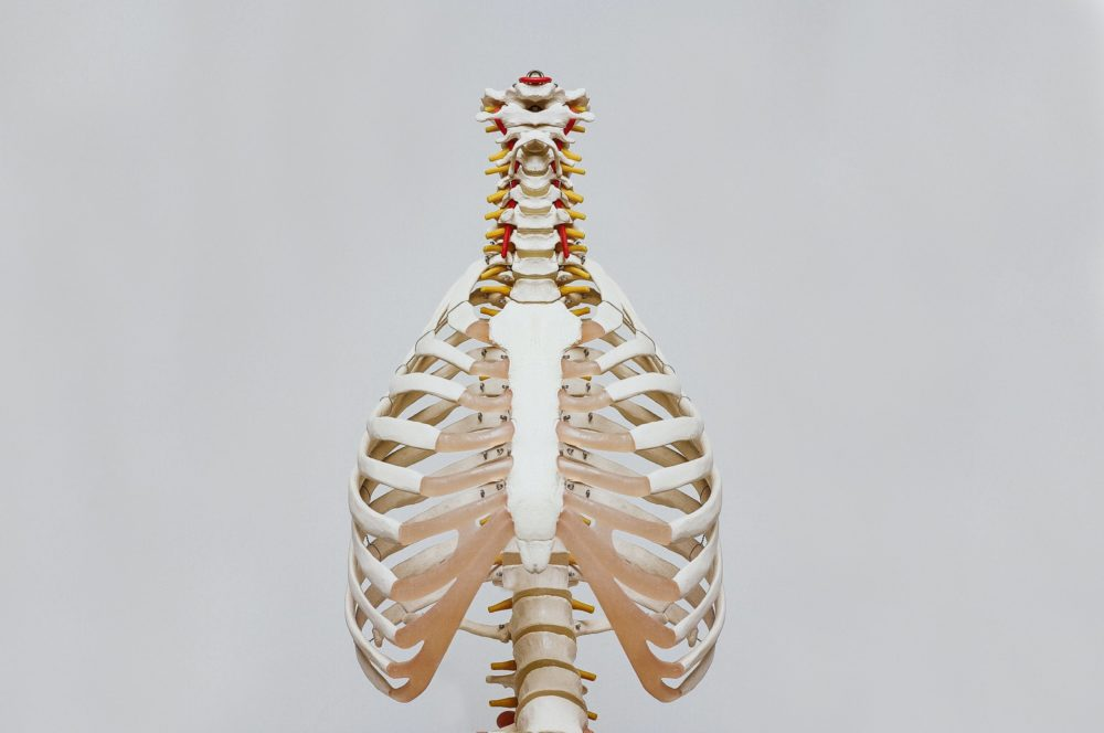 Skeleton showing ribs and spine